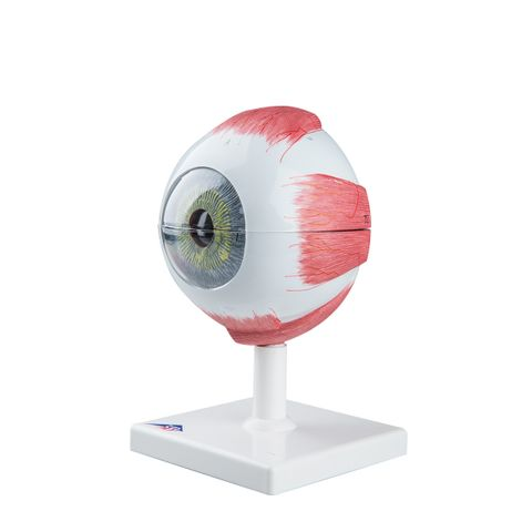 Giant eye model 5X on stand 6 parts