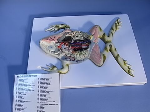 Model Frog dissection on stand