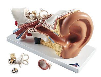 Model Ear on board 4 parts