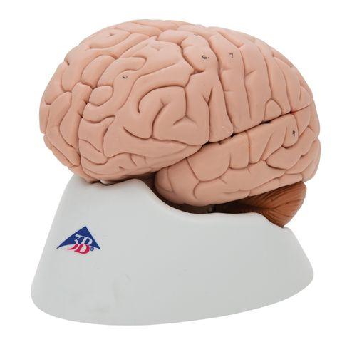 Model brain natural size 8 parts