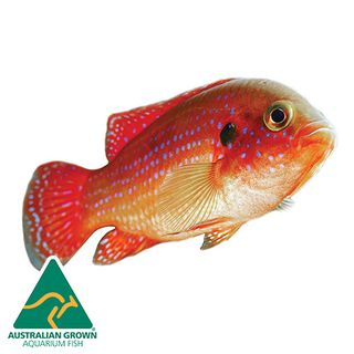4.5CM RED FOREST JEWEL CICHLID