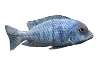 5CM BLUE MOORII