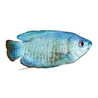 5CM DWARF BLUE GOURAMI