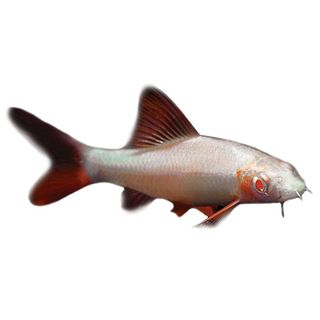5CM ALBINO RAINBOW SHARK