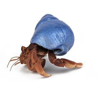 H-CRAB IN PAINTED SHELL - LARGE