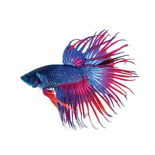 5CM CROWNTAIL MALE BETTA