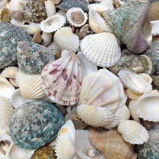 Seashells Assorted Shapes/Sizes 500g