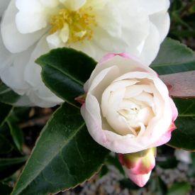 Camellia sasanqua Asakura