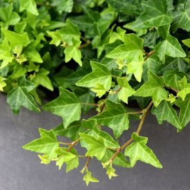 Hedera Helix Pittsburgh Ivy