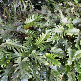 Philodendron japonica Xanadu