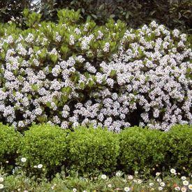 Rhaphiolepsis spring pearl