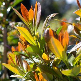 Tristaniopsis Luscious pbr