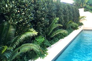 The Bay tree – an alternative to Ficus