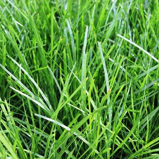 Grasses & Strappy Leaf