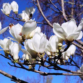Magnolia deciduous