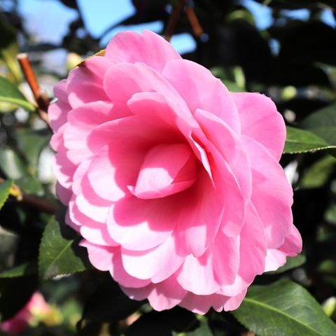 Camellia japonica 'Hari Withers'