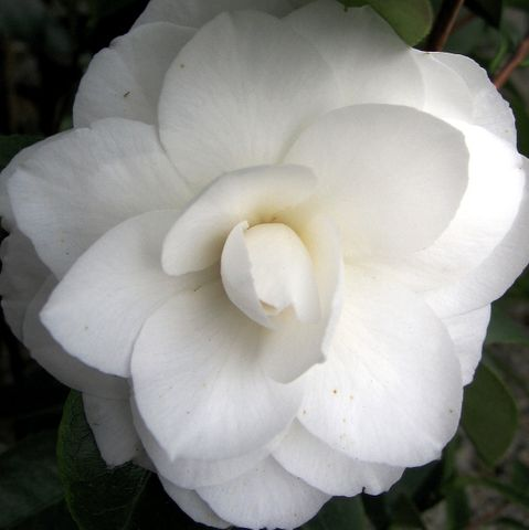Camellia japonica 'Pope John XXIII'