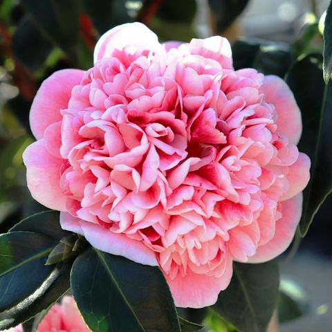 Camellia japonica 'Volunteer' pbr