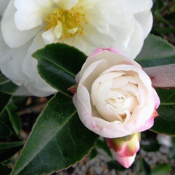 Camellia sasanqua 'Asakura'