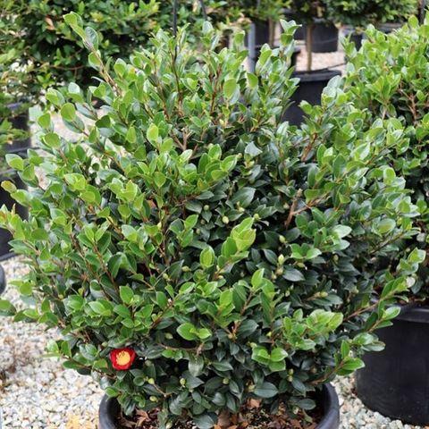 Camellia sasanqua Ball