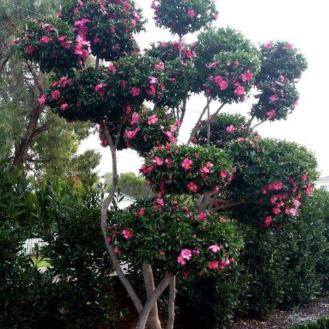 Camellia sasanqua Cloud