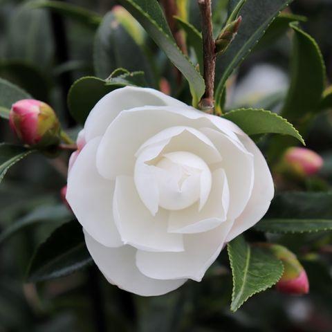 Camellia sasanqua 'Early Pearly'