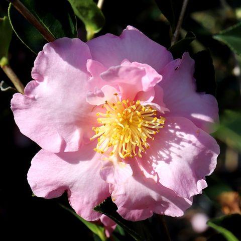 Camellia sasanqua 'Edna Butler'