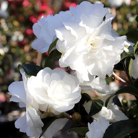 Camellia sasanqua 'Paradise Avalanche' pbr
