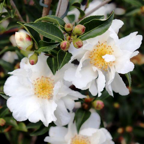 Camellia sasanqua 'Paradise Petite White'