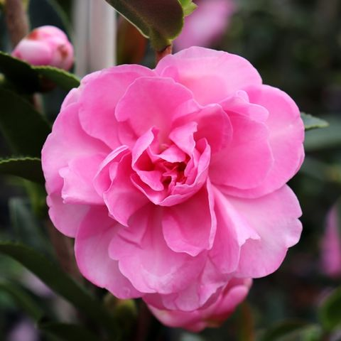 Camellia sasanqua 'Paradise With Love' pbr