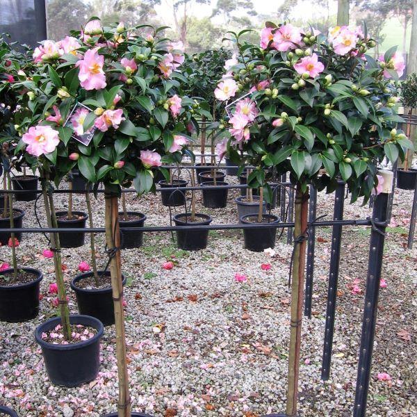Camellia sasanqua Standard