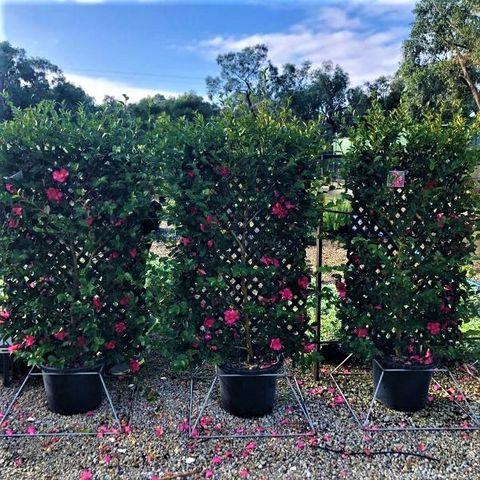 Camellia sasanqua Trellis