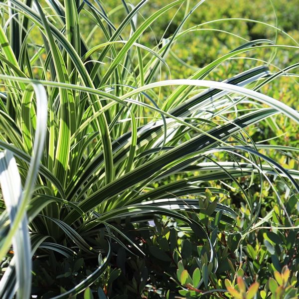 Carex oshimensis 'Feather Falls' pbr