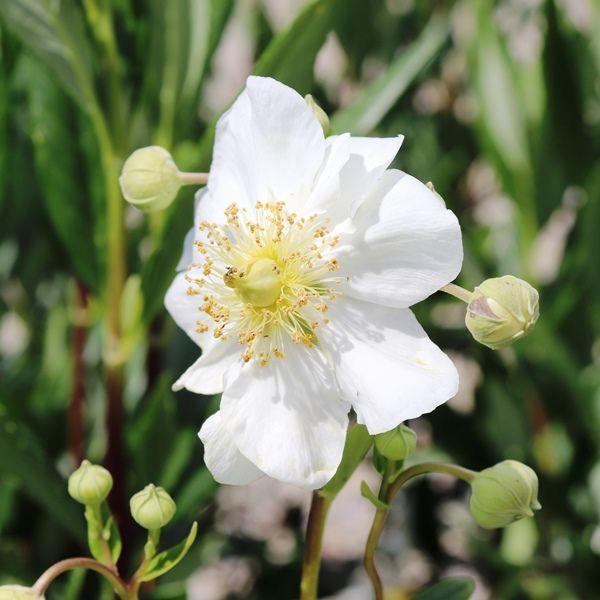 Carpentaria californica