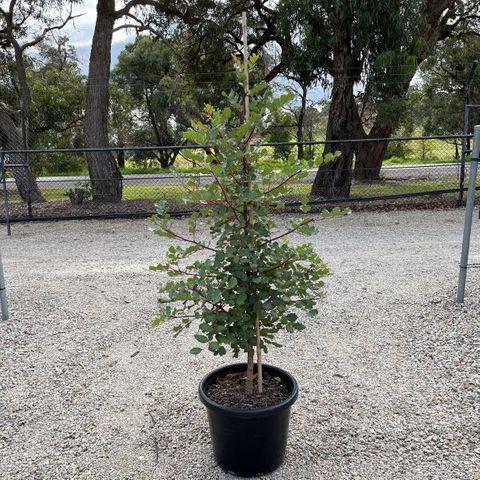 Ceratonia siliqua (Carob)