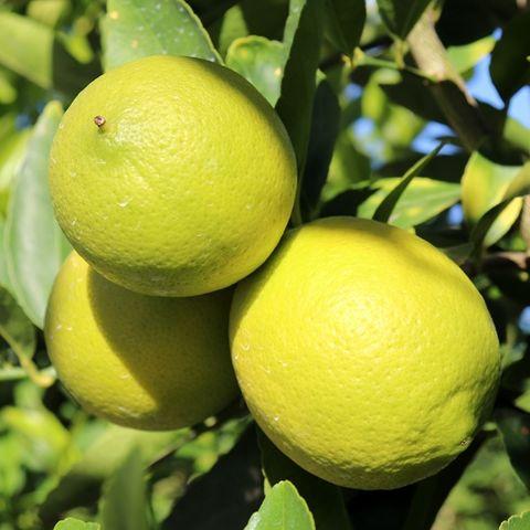 Citrus latifolia Lime Courtyard