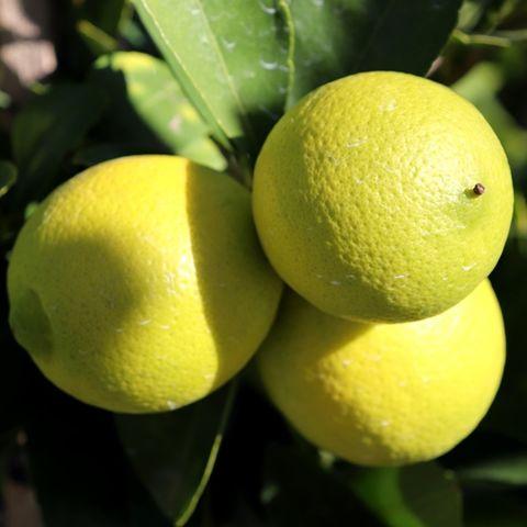 Citrus latifolia Lime 'Tahitian' Trellis