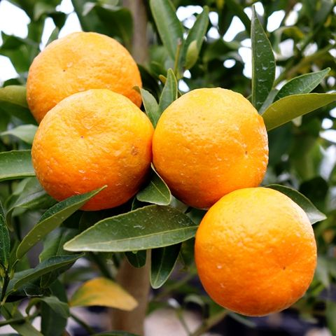 Citrus reticulata Mandarin 'Emperor'