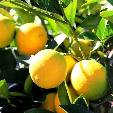 Citrus x meyeri 'Lemonicious' pbr