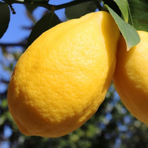 Citrus x meyeri Lemon 'Meyer'