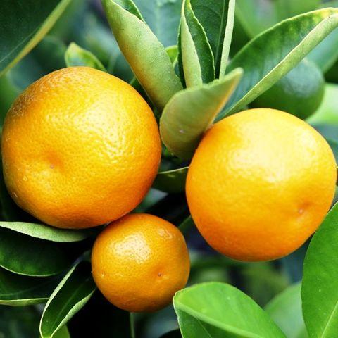 Citrus x microcarpa Cumquat Courtyard