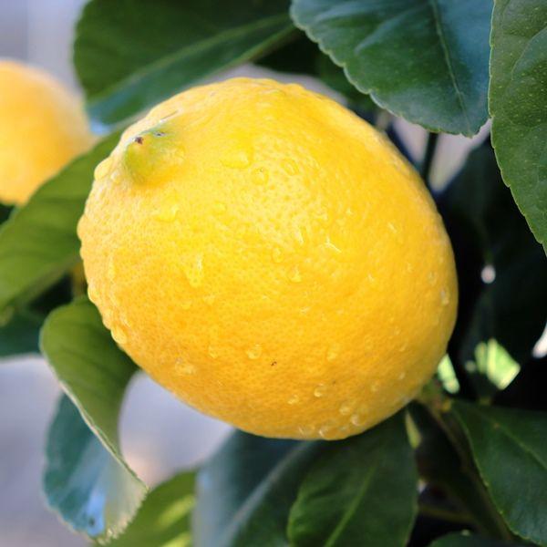 Citrus x limon Lemon Trellis
