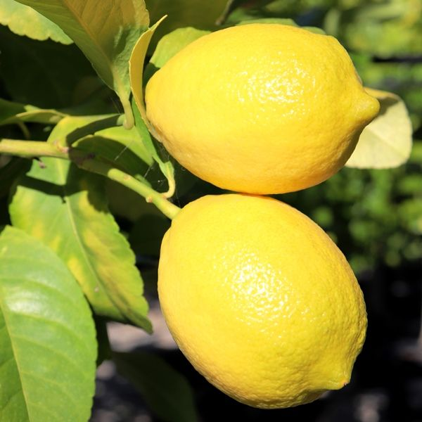Citrus x limon Lemon 'Eureka'