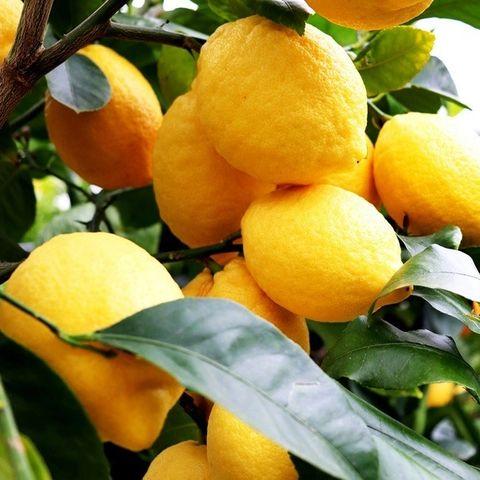 Citrus x limon Lemon 'Lisbon'