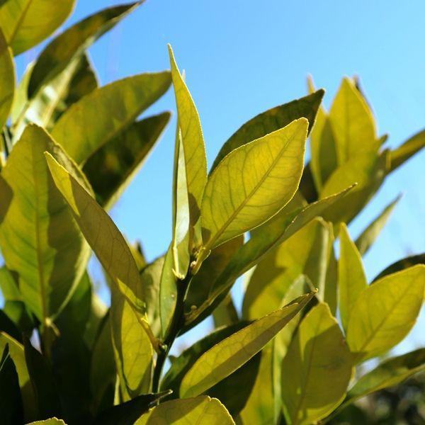Citrus x sinensis Orange 'Cara Cara Navel'