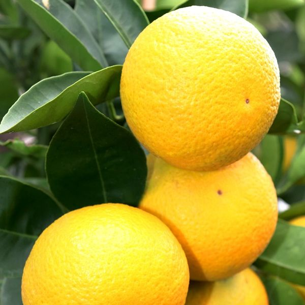 Citrus x sinensis Orange 'Blood'