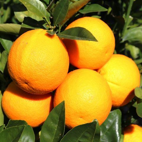 Citrus x sinensis Orange 'Mediterranean Sweet'