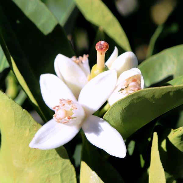 Citrus x sinensis Orange 'Washington Navel'