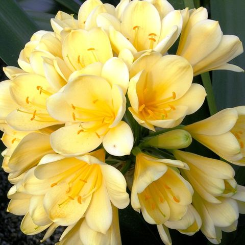 Clivia miniata 'Shademaster' Yellow