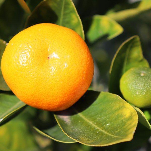 Cumquat Standard